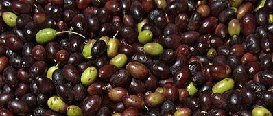 Olivenöl kaufen – gönn Dir eins aus Taggiasca Oliven!